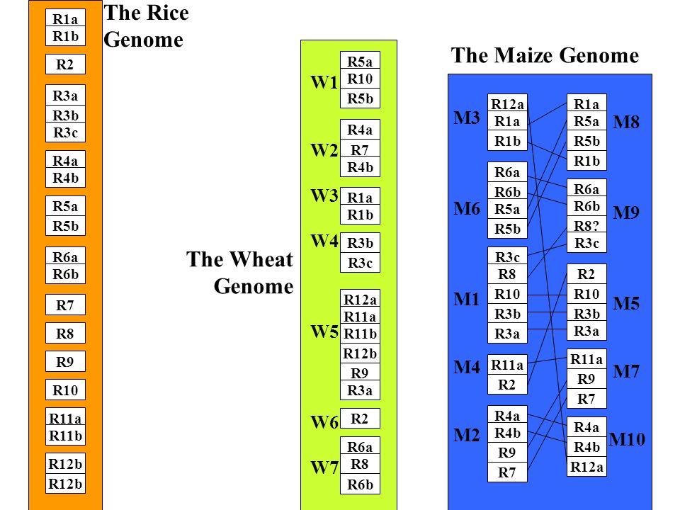 R12b R8 R9 R11a R11b R12b R5b R6a R6b R7 R3b R4a R4b R5a R1a R1b R2 R3a R10 R3c The Rice Genome R6b R12b R9 R2 R6a R8 R3c R12a R11a R11b R7 R1a R1b R3b R5a R10 R5b R4a R3a R4b W1 W2 W3 W4 W5 W6 W7 The Wheat Genome R2 R4a R9 R7 R10 R3b R3a R11a R6b R5b R3c R8 R12a R1a R1b R6a R4b R5a R9 R7 R4b R12a R10 R3b R3a R11a R6a R8.