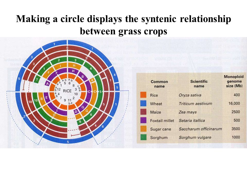 Making a circle displays the syntenic relationship between grass crops
