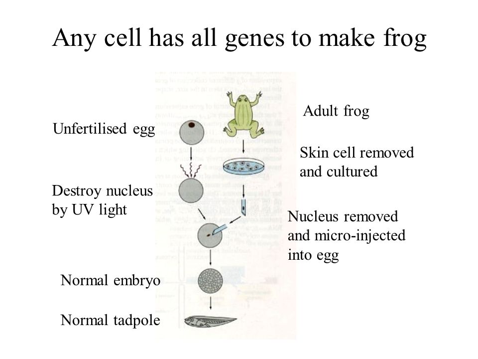 Any cell has all genes to make frog Unfertilised egg Destroy nucleus by UV light Normal tadpole Normal embryo Adult frog Skin cell removed and culture