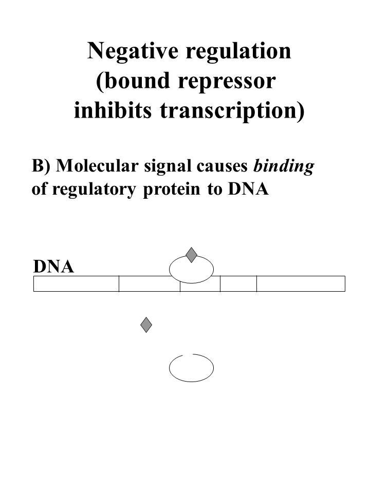 Negative regulation (bound repressor inhibits transcription) B) Molecular signal causes binding of regulatory protein to DNA DNA