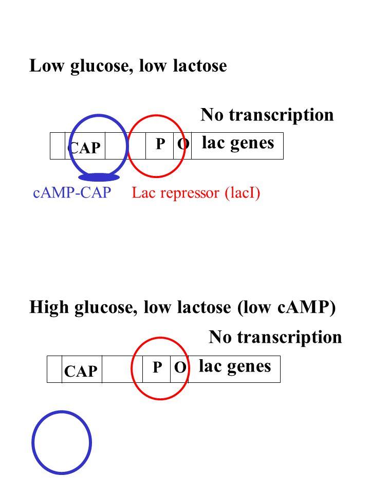 Low glucose, low lactose High glucose, low lactose (low cAMP) PO lac genes CAP PO lac genes CAP Lac repressor (lacI)cAMP-CAP No transcription