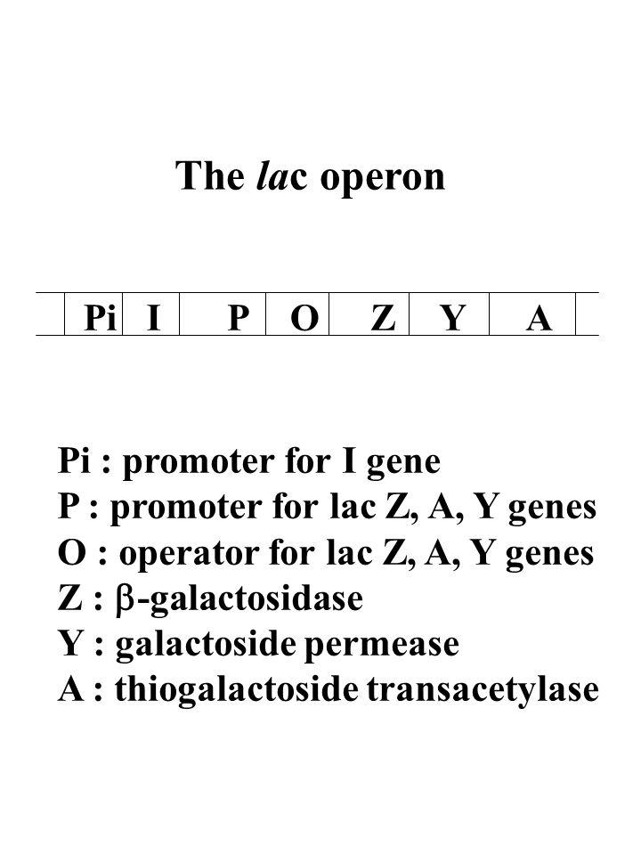 The lac operon PiIPOZYA Pi : promoter for I gene P : promoter for lac Z, A, Y genes O : operator for lac Z, A, Y genes Z : -galactosidase Y : galactoside permease A : thiogalactoside transacetylase