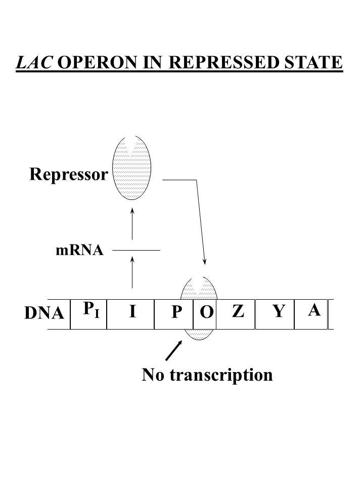 LAC OPERON IN REPRESSED STATE PIPI I PO ZY A DNA mRNA Repressor No transcription
