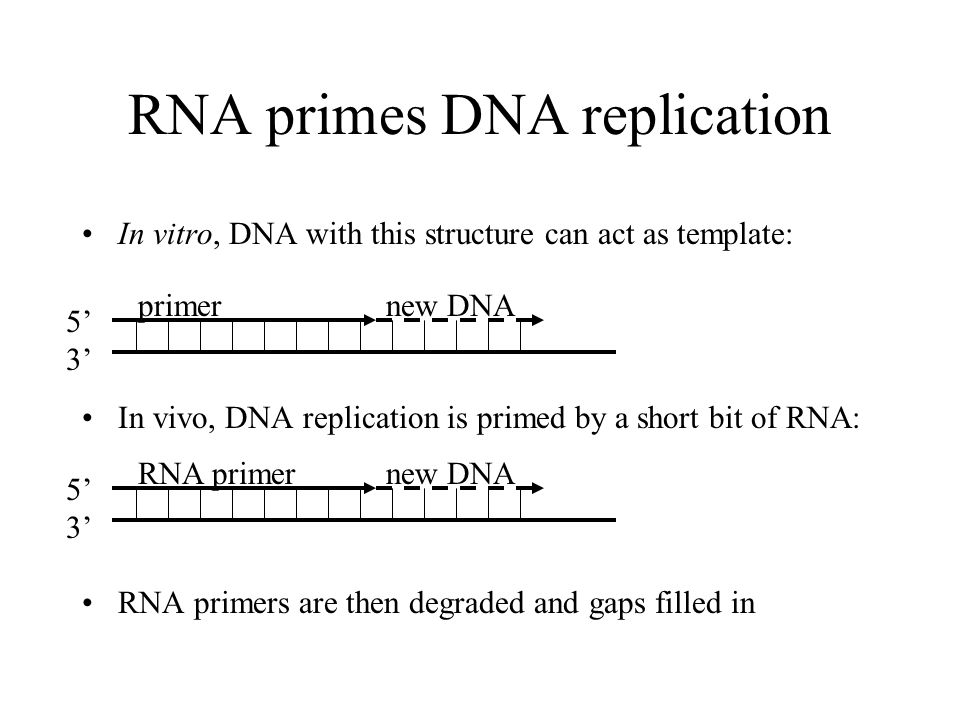 RNA primes DNA replication In vitro, DNA with this structure can act as template: In vivo, DNA replication is primed by a short bit of RNA: RNA primers are then degraded and gaps filled in 5353 primernew DNA 5353 RNA primernew DNA