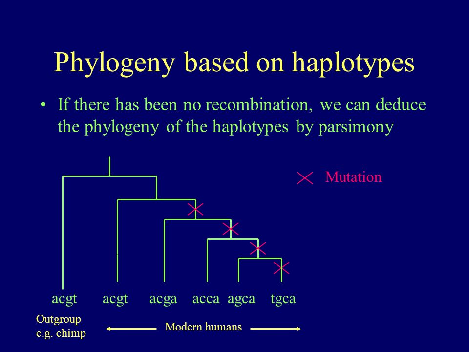 Phylogeny based on haplotypes If there has been no recombination, we can deduce the phylogeny of the haplotypes by parsimony acgttgcaagcaaccaacgtacga