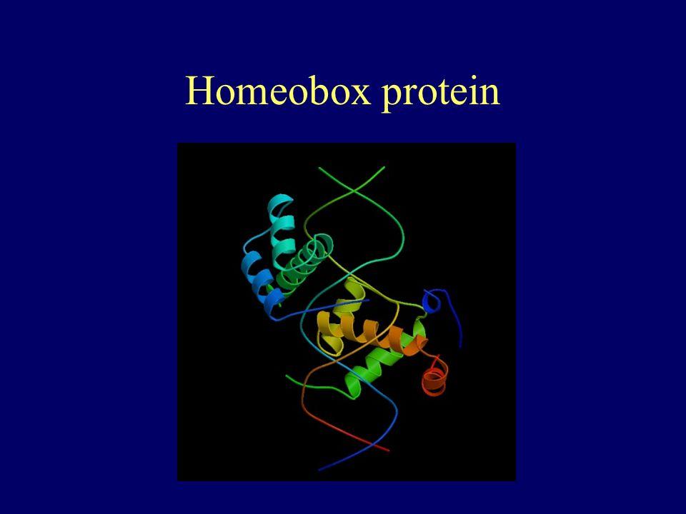 Homeobox protein