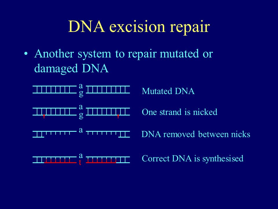 DNA excision repair Another system to repair mutated or damaged DNA a g g a a a t Mutated DNA One strand is nicked DNA removed between nicks Correct D