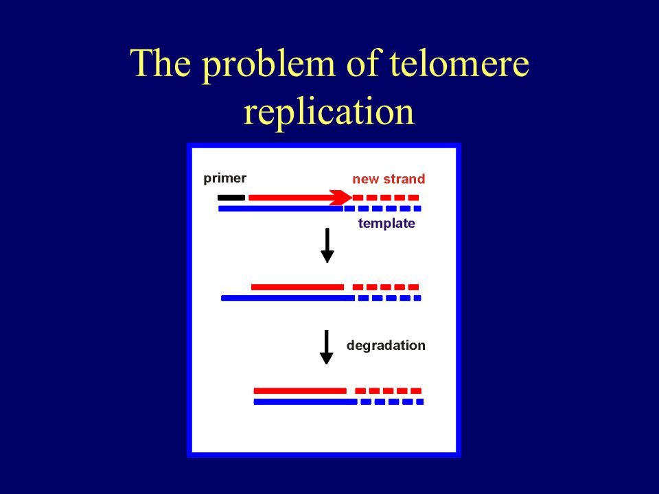 The problem of telomere replication