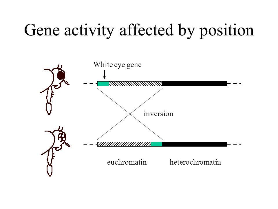 Gene activity affected by position heterochromatineuchromatin White eye gene inversion