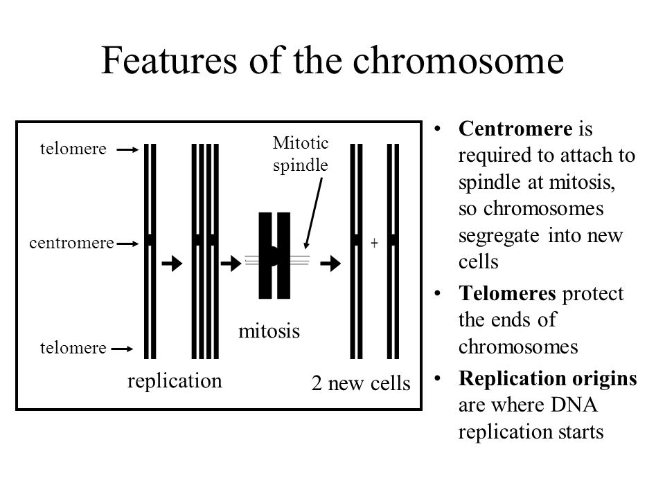 Features of the chromosome Centromere is required to attach to spindle at mitosis, so chromosomes segregate into new cells Telomeres protect the ends of chromosomes Replication origins are where DNA replication starts telomere centromere telomere replication mitosis 2 new cells Mitotic spindle