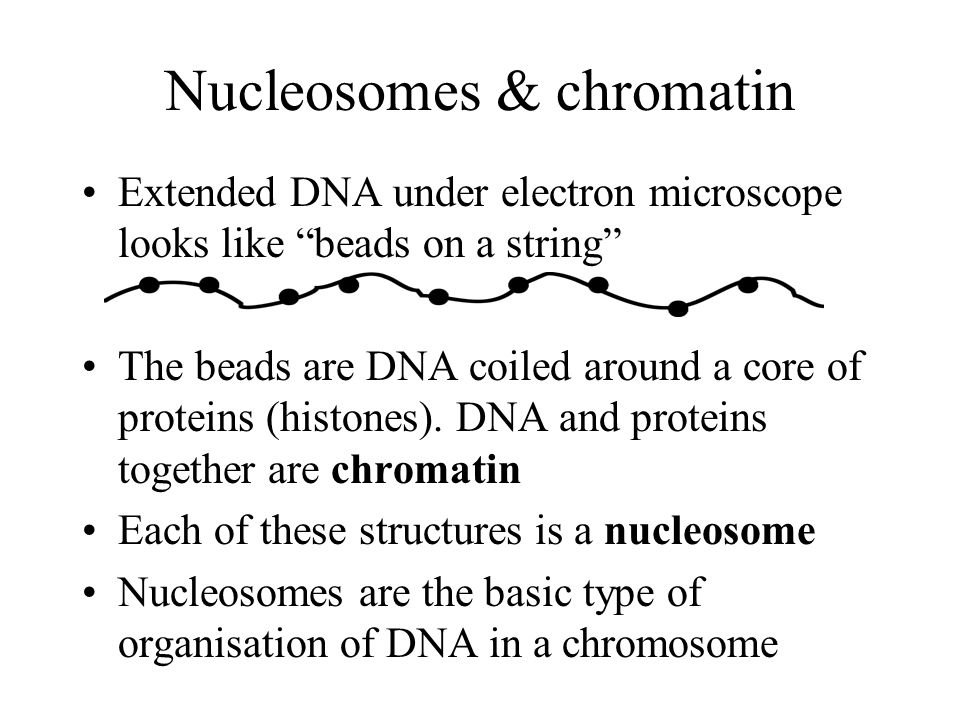 Nucleosomes & chromatin Extended DNA under electron microscope looks like beads on a string The beads are DNA coiled around a core of proteins (histones).