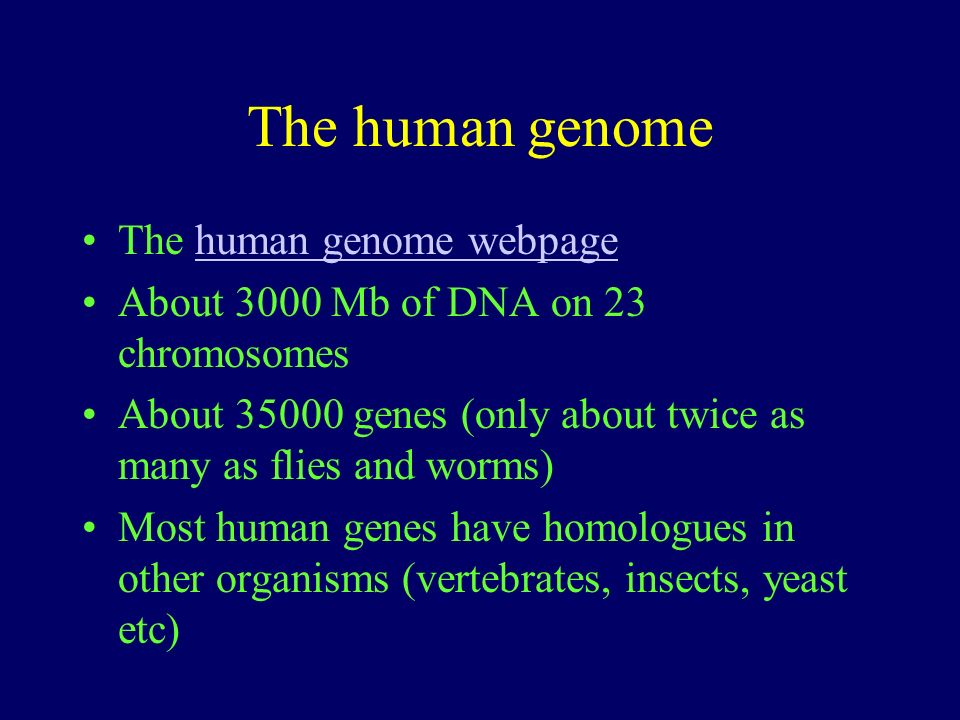 The human genome The human genome webpagehuman genome webpage About 3000 Mb of DNA on 23 chromosomes About 35000 genes (only about twice as many as fl