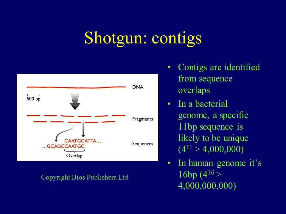 Shotgun: contigs Contigs are identified from sequence overlaps In a bacterial genome, a specific 11bp sequence is likely to be unique (4 11 > 4,000,00