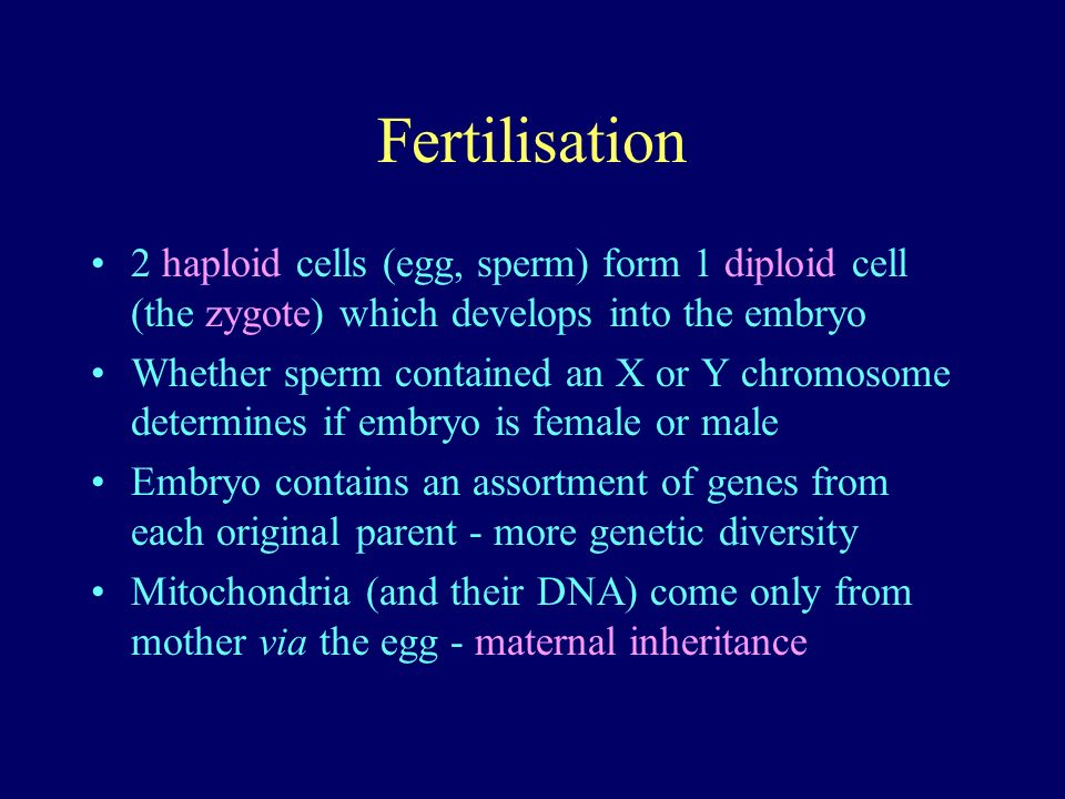 Fertilisation 2 haploid cells (egg, sperm) form 1 diploid cell (the zygote) which develops into the embryo Whether sperm contained an X or Y chromosome determines if embryo is female or male Embryo contains an assortment of genes from each original parent - more genetic diversity Mitochondria (and their DNA) come only from mother via the egg - maternal inheritance