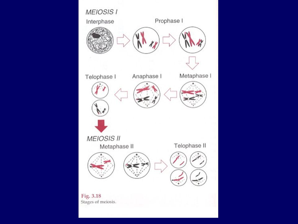 Meiosis and Recombination Chromosomes pair upDNA replication Chiasmata form Recombination 1st cell division 2nd cell divisionGametes Result: meiosis generates new combinations of alleles