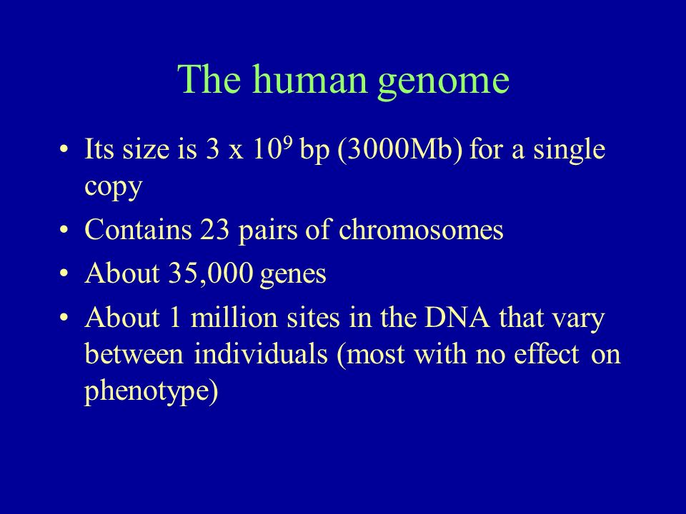 The human genome Its size is 3 x 10 9 bp (3000Mb) for a single copy Contains 23 pairs of chromosomes About 35,000 genes About 1 million sites in the DNA that vary between individuals (most with no effect on phenotype)