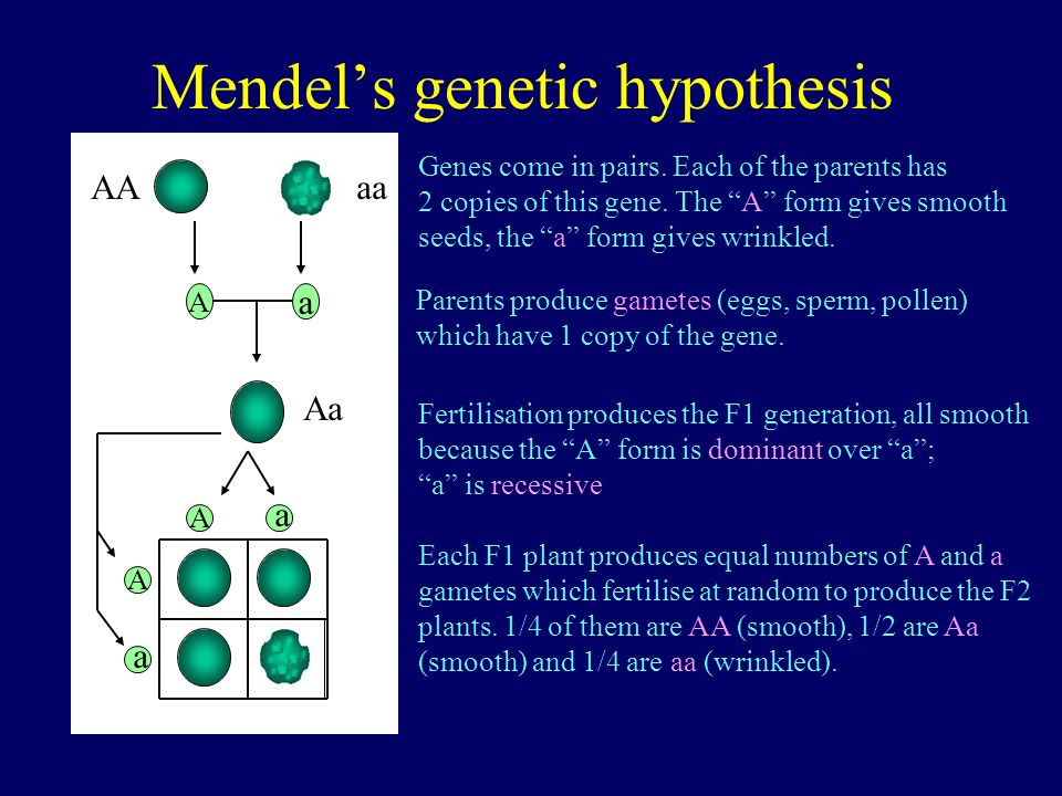 Mendels genetic hypothesis Aa AAaa A a A a A a Genes come in pairs. Each of the parents has 2 copies of this gene. The A form gives smooth seeds, the