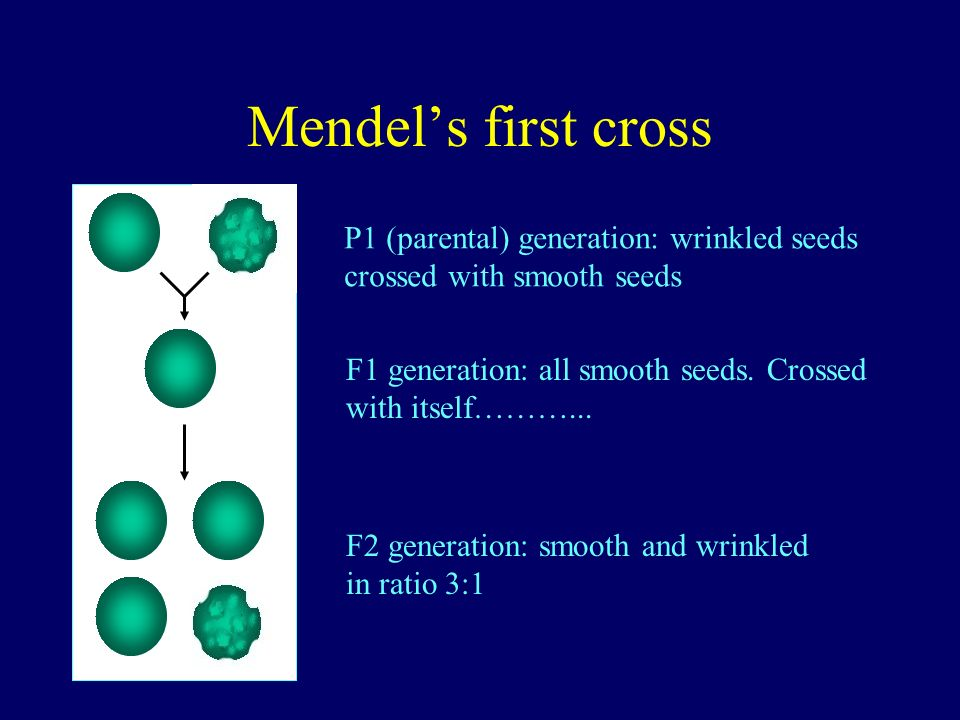 Mendels first cross P1 (parental) generation: wrinkled seeds crossed with smooth seeds F1 generation: all smooth seeds. Crossed with itself………... F2 g