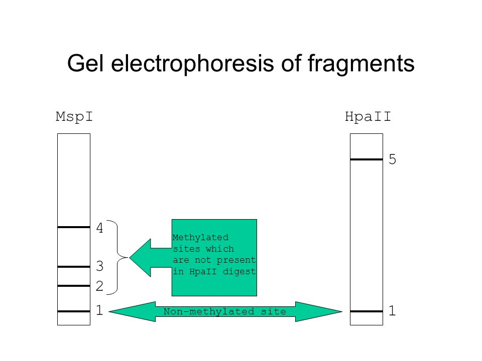 Gel electrophoresis of fragments 1 2 3 4 1 5 Non-methylated site Methylated sites which are not present in HpaII digest MspIHpaII