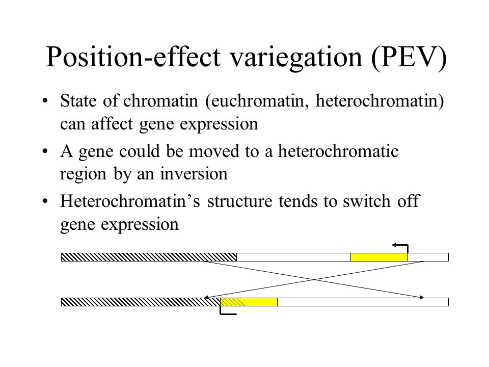 Position-effect variegation (PEV) State of chromatin (euchromatin, heterochromatin) can affect gene expression A gene could be moved to a heterochroma