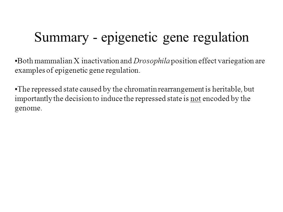 Summary - epigenetic gene regulation Both mammalian X inactivation and Drosophila position effect variegation are examples of epigenetic gene regulati