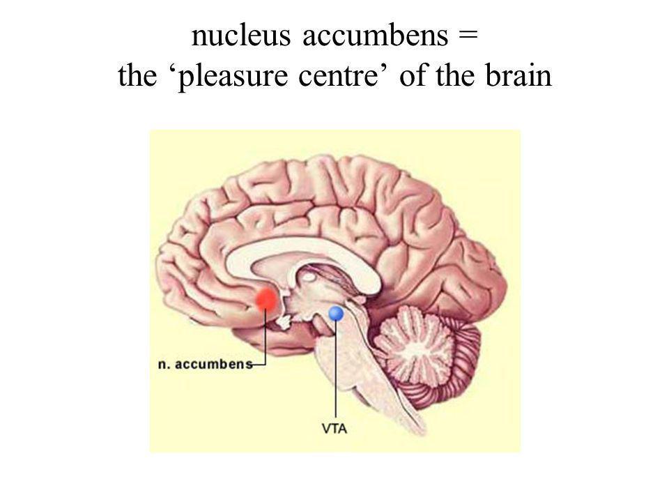 nucleus accumbens = the pleasure centre of the brain