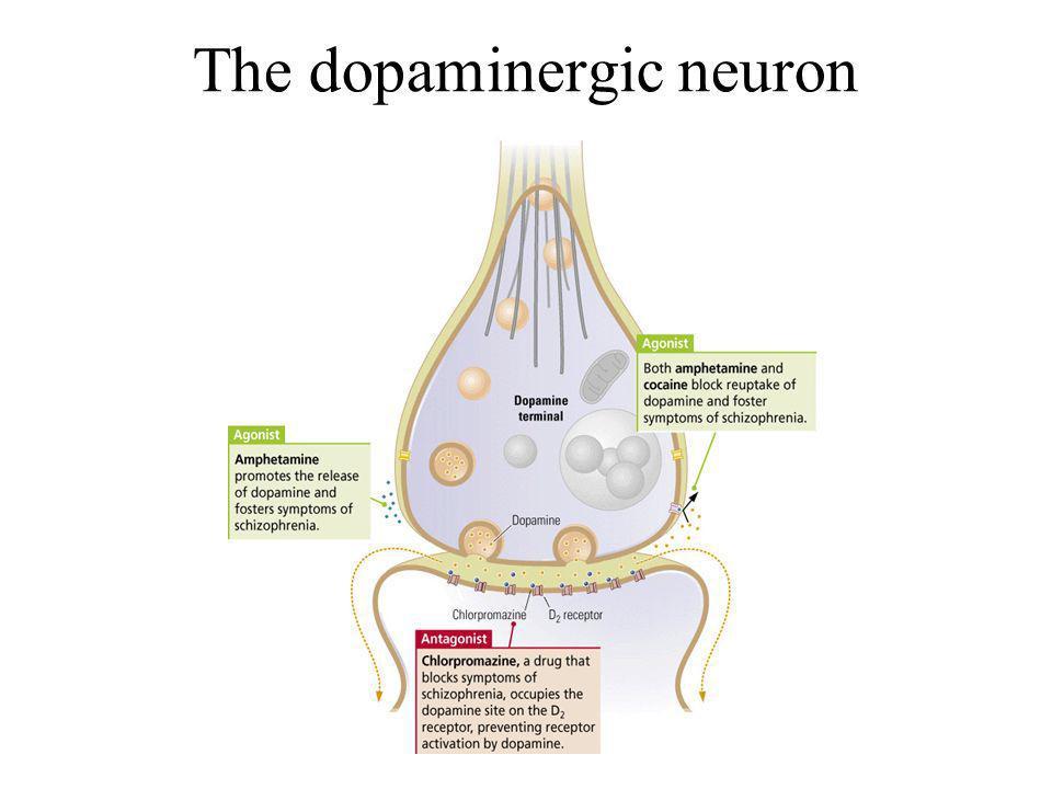 The dopaminergic neuron
