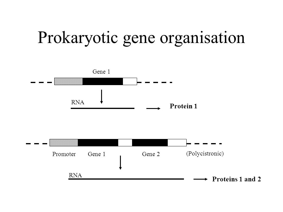 Prokaryotic gene organisation PromoterGene 1Gene 2 Gene 1 RNA Protein 1 Proteins 1 and 2 (Polycistronic)