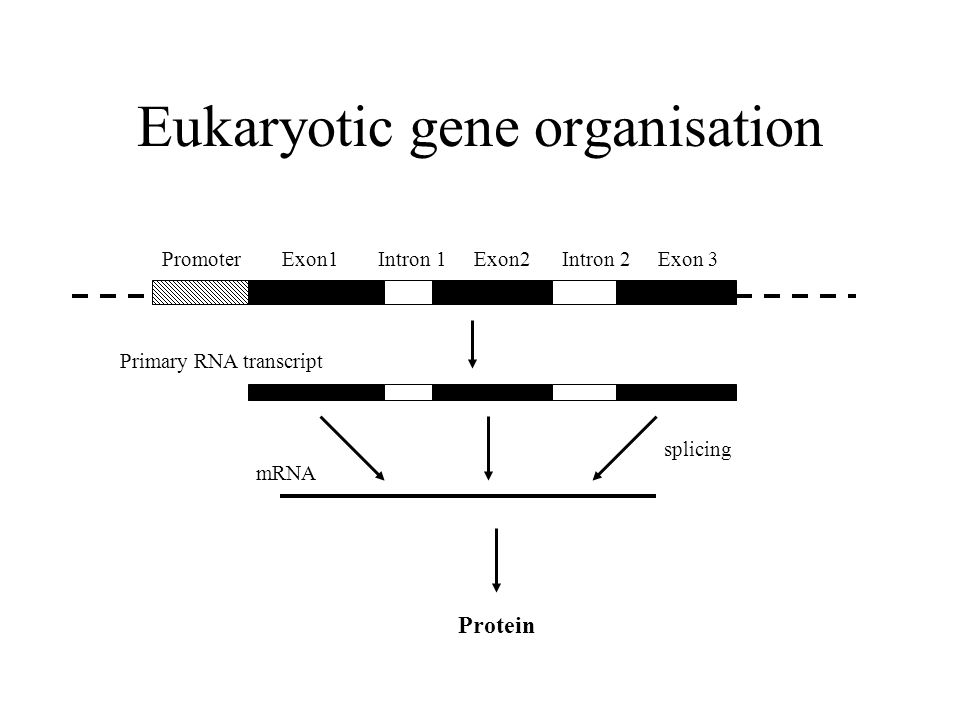 Eukaryotic gene organisation PromoterExon1Intron 1Exon2Intron 2Exon 3 mRNA Protein Primary RNA transcript splicing