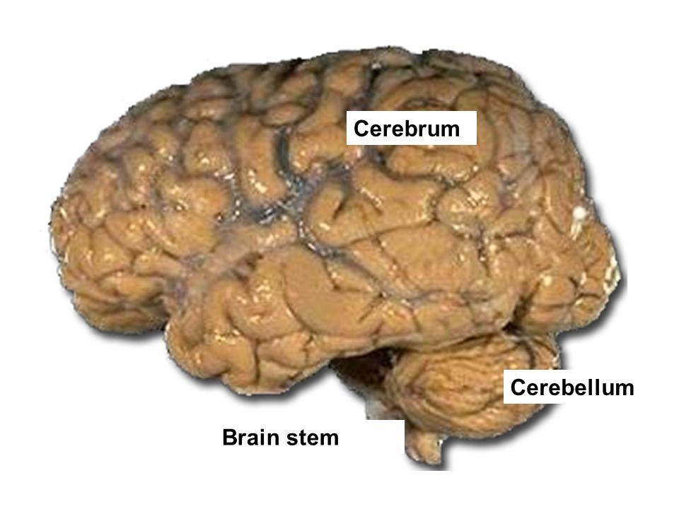 Cerebrum Cerebellum Brain stem