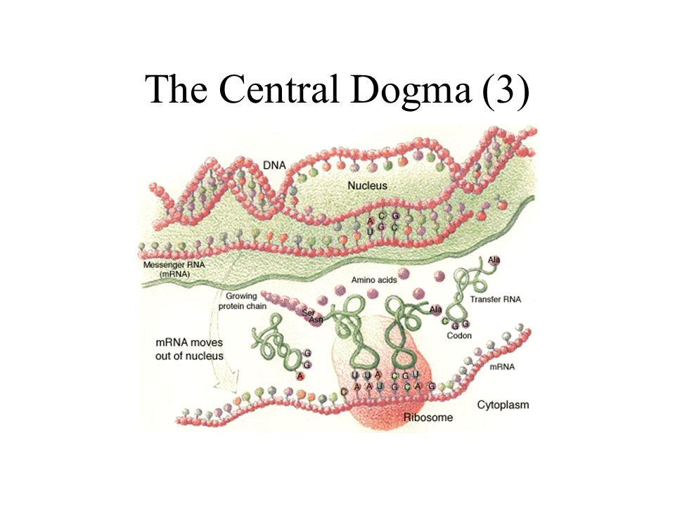 The Central Dogma (3)