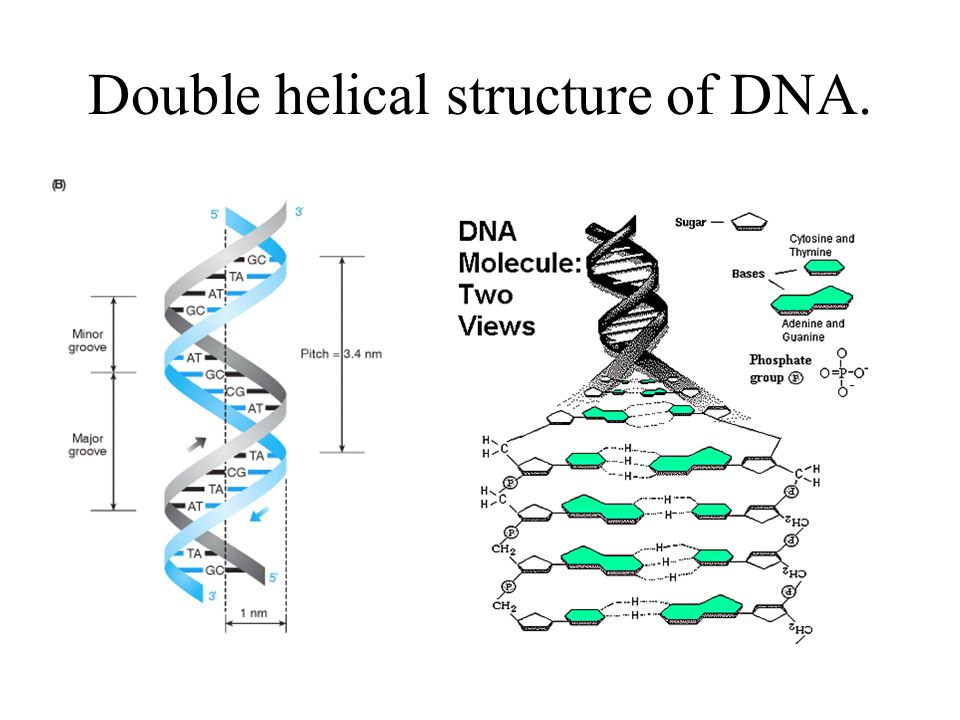 Double helical structure of DNA.