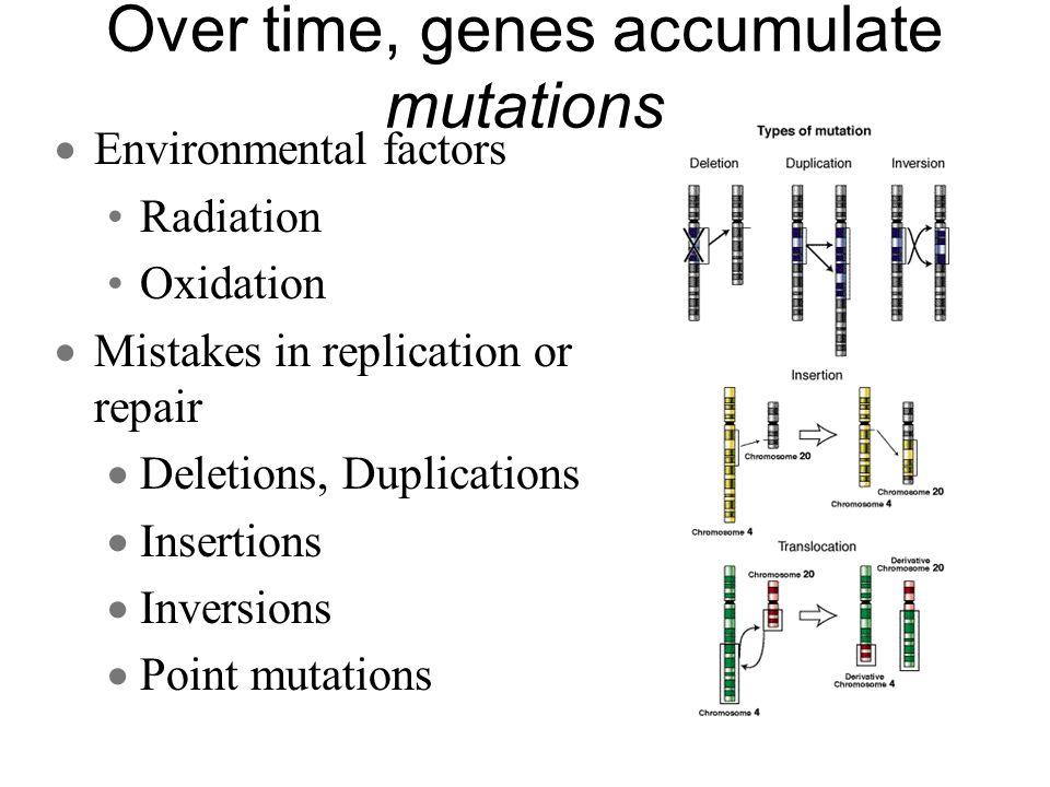 Over time, genes accumulate mutations Environmental factors Radiation Oxidation Mistakes in replication or repair Deletions, Duplications Insertions I
