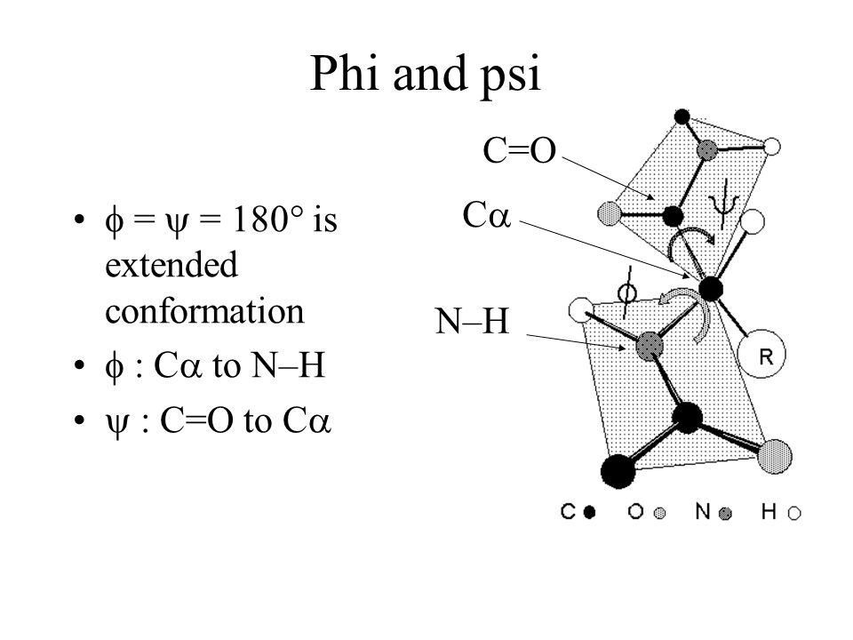 Phi and psi = = 180° is extended conformation : C to N–H : C=O to C C C=O N–H