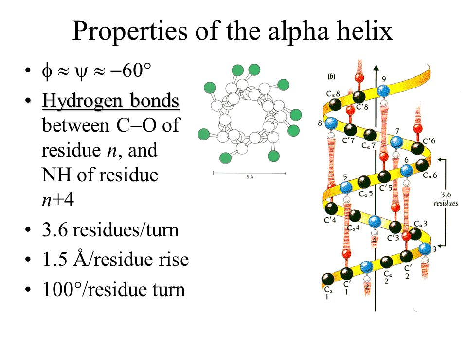 Properties of -helices 4 – 40+ residues in length Often amphipathic or dual-natured –Half hydrophobic and half hydrophilic –Mostly when surface-exposed If we examine many -helices, we find trends… –Helix formers: Ala, Glu, Leu, Met –Helix breakers: Pro, Gly, Tyr, Ser