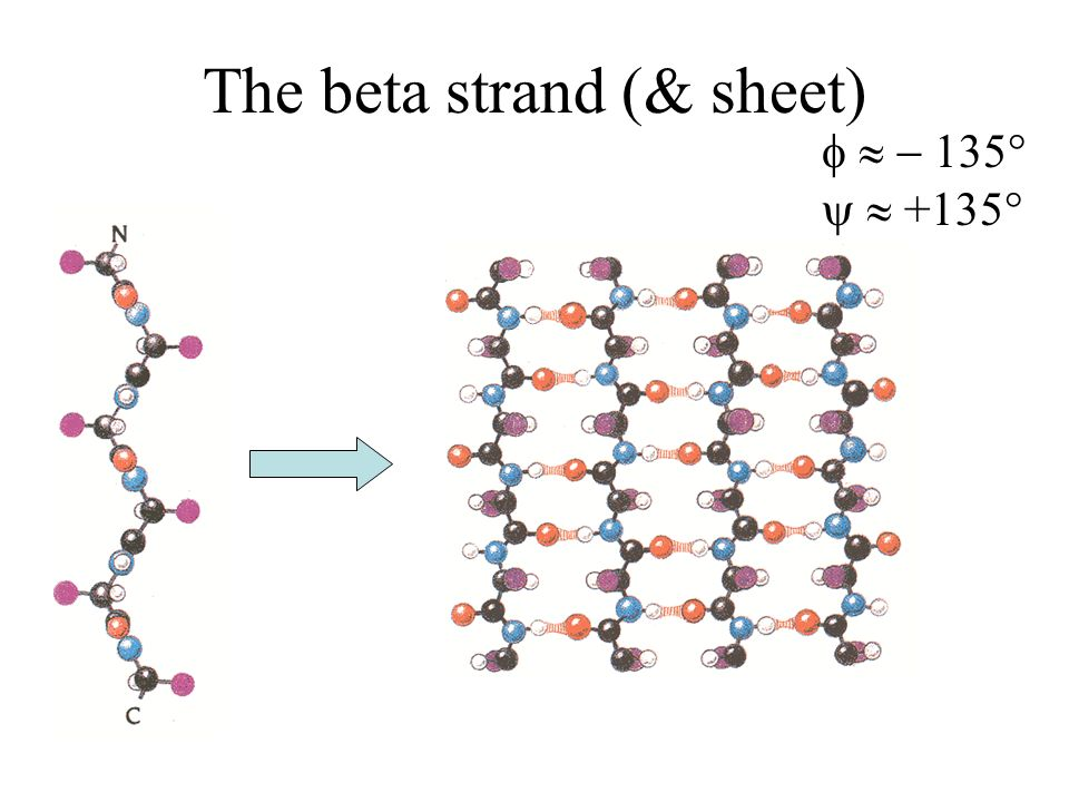 Properties of beta sheets Formed of stretches of 5-10 residues in extended conformation Pleated – each C a bit above or below the previous Parallel/aniparallelParallel/aniparallel, contiguous/non-contiguous