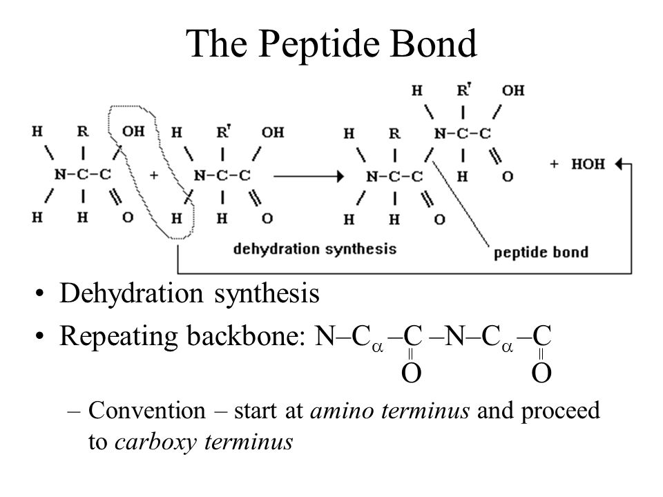 The Peptide Bond Dehydration synthesis Repeating backbone: N–C –C –N–C –C –Convention – start at amino terminus and proceed to carboxy terminus OO