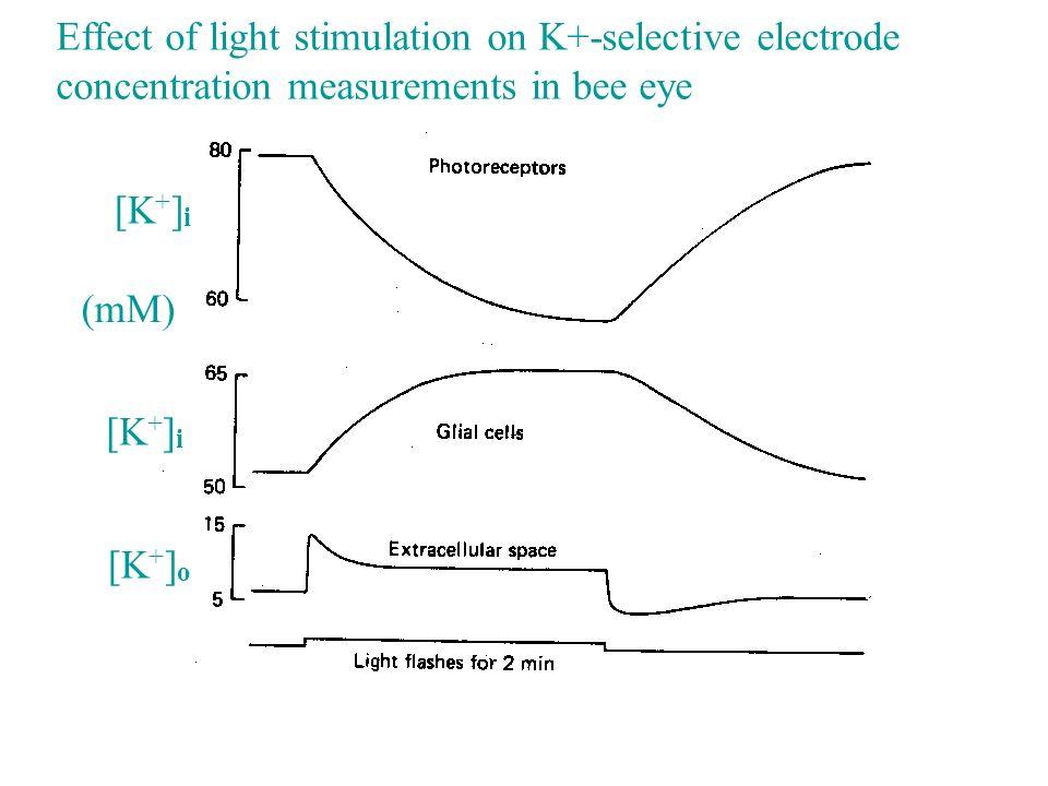 Effect of light stimulation on K+-selective electrode concentration measurements in bee eye [K + ] o [K + ] i (mM)