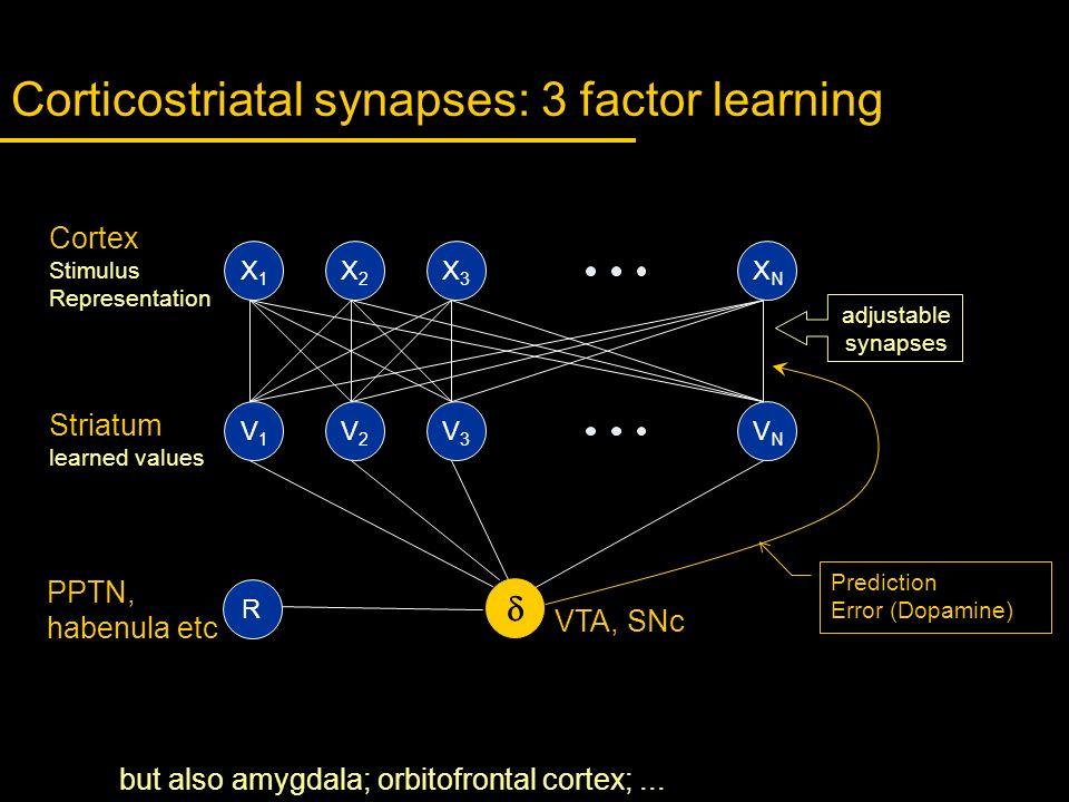 Corticostriatal synapses: 3 factor learning X1X1 X2X2 X3X3 XNXN V1V1 V2V2 V3V3 VNVN Cortex Stimulus Representation adjustable synapses PPTN, habenula