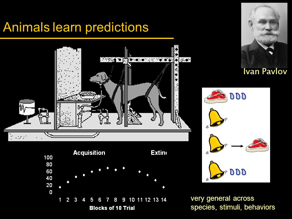 Animals learn predictions Ivan Pavlov very general across species, stimuli, behaviors
