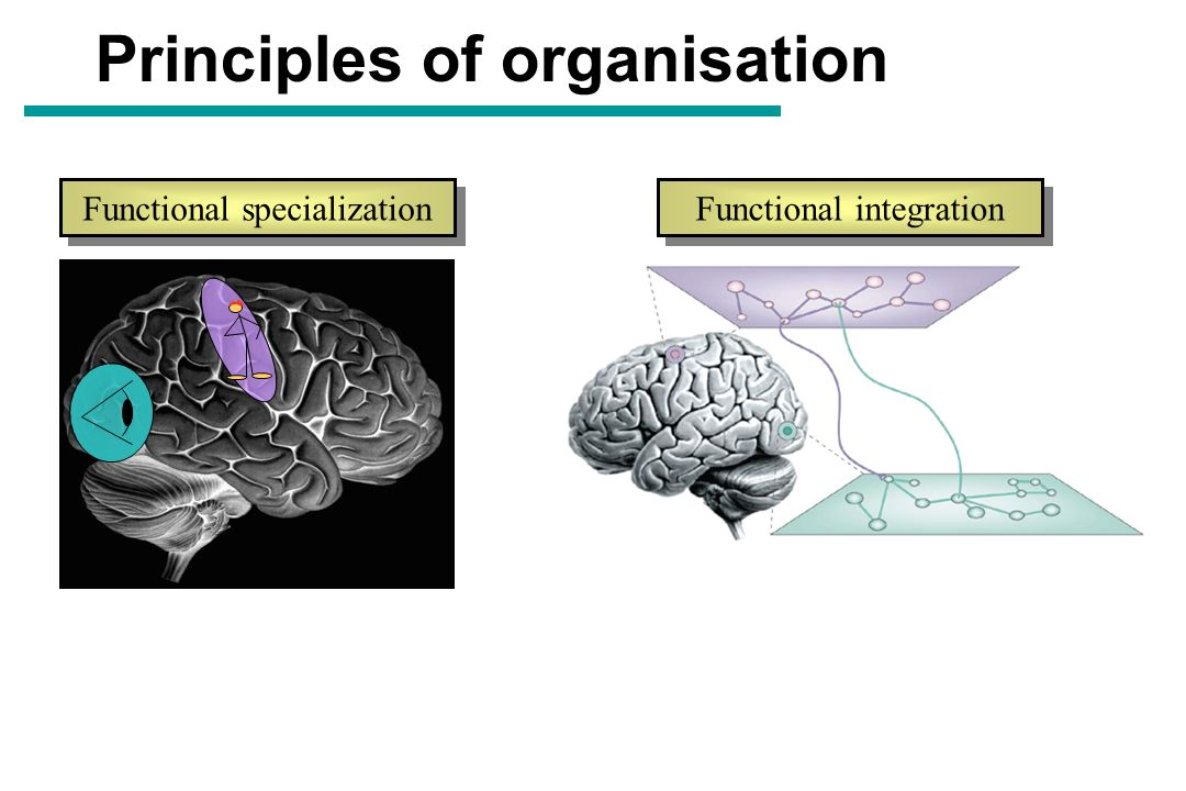 Principles of organisation Functional specialization Functional integration