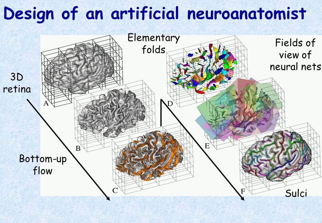 Design of an artificial neuroanatomist 3D retina Bottom-up flow Fields of view of neural nets Elementary folds Sulci