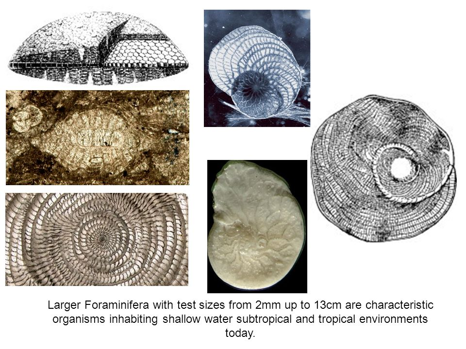 Larger Foraminifera with test sizes from 2mm up to 13cm are characteristic organisms inhabiting shallow water subtropical and tropical environments to
