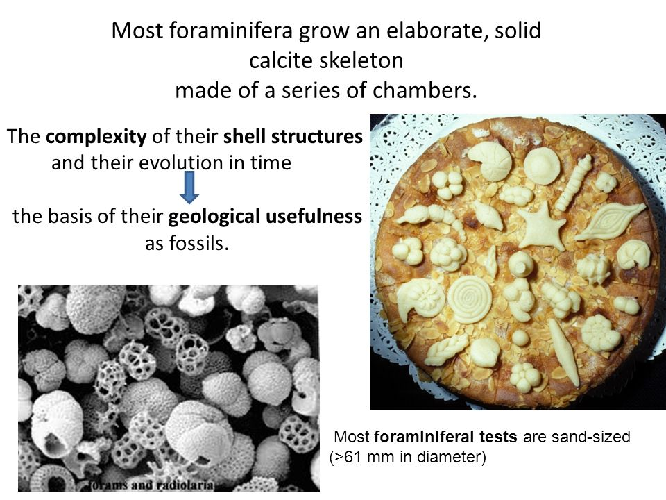 Most foraminifera grow an elaborate, solid calcite skeleton made of a series of chambers. The complexity of their shell structures and their evolution