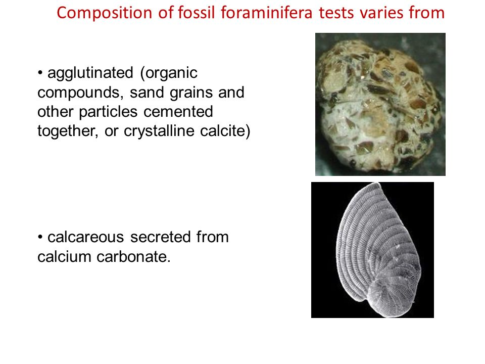 Composition of fossil foraminifera tests varies from calcareous secreted from calcium carbonate. agglutinated (organic compounds, sand grains and othe