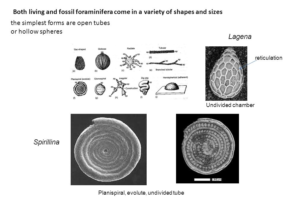 the simplest forms are open tubes or hollow spheres Both living and fossil foraminifera come in a variety of shapes and sizes Spirillina Planispiral,