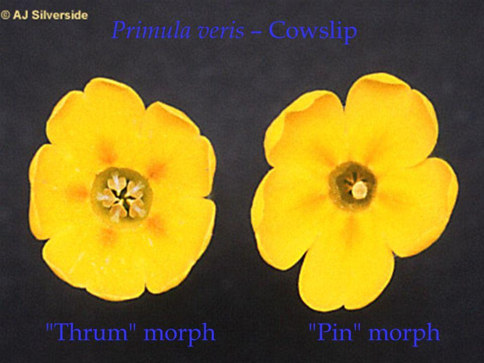 Primula veris – Cowslip Pin morph Thrum morph