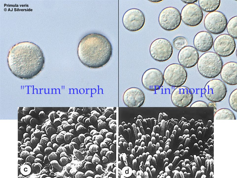 Pin morph Thrum morph