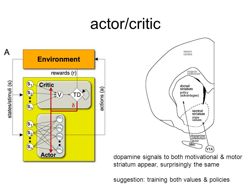 actor/critic m1m1 m2m2 m3m3 mnmn dopamine signals to both motivational & motor striatum appear, surprisingly the same suggestion: training both values