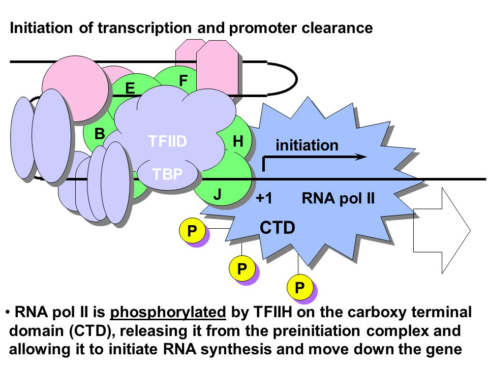 +1 TBP TFIID B E F H J RNA pol II initiation RNA pol II is phosphorylated by TFIIH on the carboxy terminal domain (CTD), releasing it from the preinit
